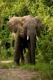 dorastający słoń Uganda Obraz Royalty Free