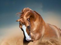 Dorato indossi il ritratto del cavallo nel movimento con i cieli nuvolosi dietro fotografia stock