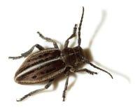 Dorcadion holosericeum, Capricorn beetle Stock Image