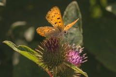 Dorcas在蓟的铜蝴蝶 免版税图库摄影