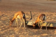 Dorcas瞪羚羚羊属dorcas在迪拜,阿拉伯联合酋长国附近居住自然沙漠储备 免版税库存图片