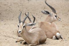 Dorcas瞪羚 库存图片