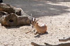 Dorcas gazela Fotografia Stock
