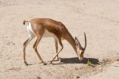 Dorcas gazela, Gazella dorcas Obraz Royalty Free