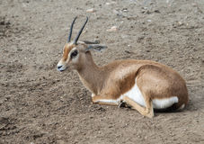 Dorcas Gazelle Royalty Free Stock Photography