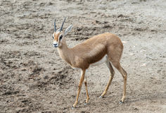 Dorcas Gazelle Stock Photography