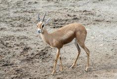 Dorcas Gazelle Stock Photography