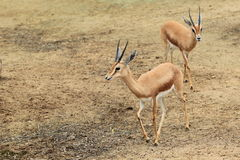 Dorcas gazelle Royalty Free Stock Photo