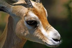 The dorcas gazelle, also known as the ariel gazelle. Is a small and common gazelle.  The numerous subspecies survive on vegetation in grassland, steppe, wadis Royalty Free Stock Photos