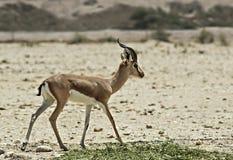 Dorcas Gazelle en reserva de naturaleza Imagenes de archivo