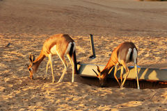 Dorcas gazelle Gazella dorcas inhabits nature desert reserve near Dubai,UAE. Dorcas gazelle Gazella dorcas inhabits nature desert reserve Dubai,UAE. 2 Dorcas Royalty Free Stock Image