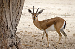 Dorcas gazelle Gazella dorcas. Inhabits nature desert reserve near Eilat, Israel. Expanding human civilization in the Middle East is a major threat to Stock Photos