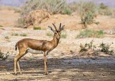 Dorcas gazelle Gazella dorcas inhabits nature desert reserve near Eilat, Israel Royalty Free Stock Images