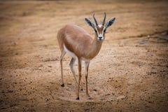 Dorcas Gazelle Stock Photo
