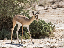 Dorcas gazelle Royalty Free Stock Image