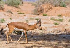 Dorcas gazelle Royalty Free Stock Photography