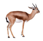 Dorcas gazelle, isolated over white. Dorcas gazelle (Gazella dorcas). Isolated over white with shade royalty free stock images