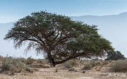 Dorcas Gazelle in Israeli nature reserve Stock Photography