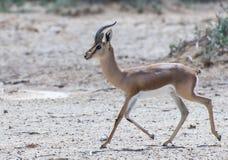 Dorcas gazelle  in Israeli nature reserve Stock Photo