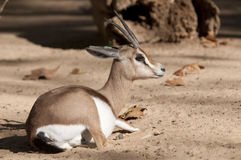 Dorcas Gazelle Laid Down Royalty Free Stock Photos
