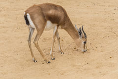 Dorcas gazelle looking for food between the earth Stock Images