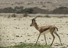 Dorcas Gazelle Royalty Free Stock Photos
