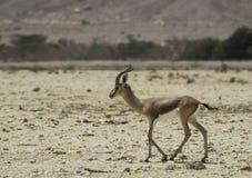 Dorcas Gazelle in nature reserve Stock Photo