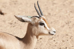 Dorcas Gazelle Portrait Stock Photo
