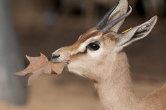Dorcas Gazelle Portrait Stock Images