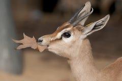Dorcas Gazelle Portrait Stock Image