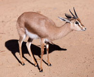 Dorcas gazelle  on sand Royalty Free Stock Images