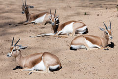 Dorcas Gazelles sitting on sand Stock Image