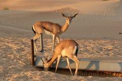 Dorcas van Gazella van de Dorcasgazelle woont woestijn in gebieden Stock Fotografie