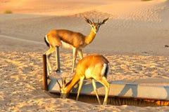 Dorcas van Gazella van de Dorcasgazelle woont woestijn in gebieden stock afbeeldingen