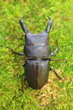 Dorcus metacostatus stag beetle Royalty Free Stock Photos