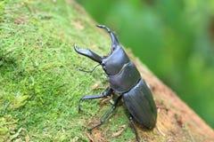 Dorcus metacostatus stag beetle Royalty Free Stock Photo
