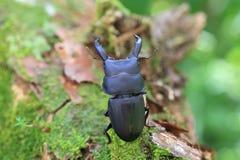 Dorcus metacostatus stag beetle Stock Photos