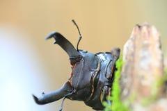 Dorcus metacostatus stag beetle Royalty Free Stock Image