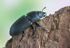 Dorcus parallelopipedus Royalty Free Stock Photography