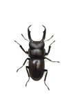 Dorcus rectus Royalty Free Stock Images