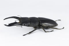 Dorcus titanus mindanaomale Stock Photos