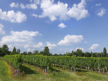 Dordogne Vineyard Stock Image