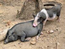 Dorf-Schweine, Laos Stockbilder