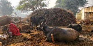 Dorfansicht mit Büffel und Bäumen stockfotos