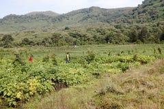 Dorfbewohner, die Kartoffelacker, Virunga, Ruanda, Afrika Arbeits sind Lizenzfreie Stockbilder