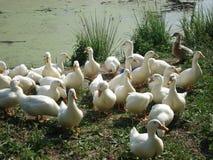 Dorfteich in der Moskau-Region wo die sich hin- und herbewegenden weißen inländischen Enten Lizenzfreie Stockfotografie