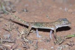 Doriae Court-digités du Moyen-Orient de Stenodactylus de gecko photographie stock libre de droits