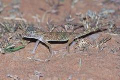 Doriae Court-digités du Moyen-Orient de Stenodactylus de gecko image libre de droits