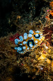 Dorid nudibranch crawling on the reefs in Banda, Indonesia underwater photo Stock Images