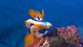 Dorid Nudibranch, sea slug stock video footage
